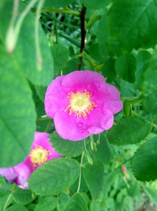 Wild roses are already beginning to bloom